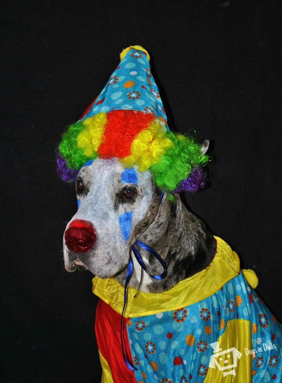 clown costume, dog paint, halloween